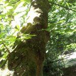 栃の樹皮と杢