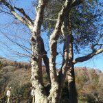 今年最初のおおきな木 諏訪大社